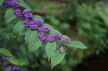 小紫(コムラサキ)