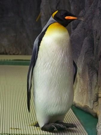 20140906 王子 キングペンギン02