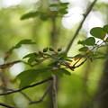 Photos: ナンキンナナカマド Sorbus gracilis