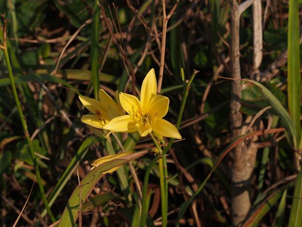 ユウスゲ Hemerocallis citrina var. vespertina