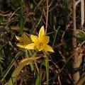 Photos: ユウスゲ Hemerocallis citrina var. vespertina