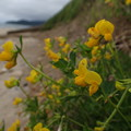 ミヤコグサ Lotus corniculatus var. japonicus