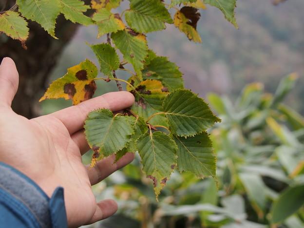ダケカンバ Betula ermanii