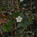 Photos: カジイチゴ Rubus trifidus