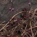 Photos: ウスベニニガナ Emilia sonchifolia var. javanica