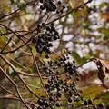 Photos: オオバイボタ Ligustrum ovalifolium