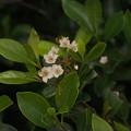 シャリンバイ  Rhaphiolepis indica var. integerrima