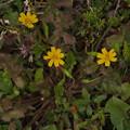 Photos: コオニタビラコ Lapsanastrum apogonoides