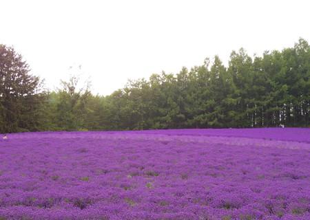 紫の海・・・