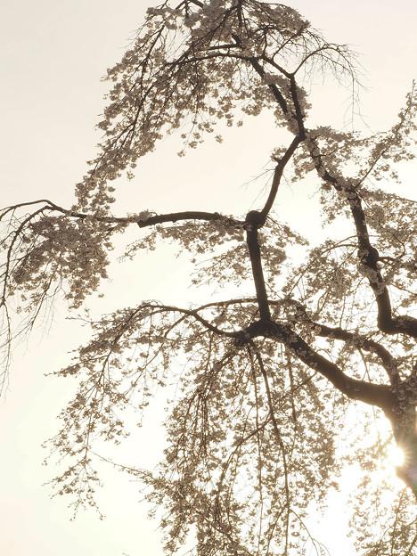 写真: 眩桜