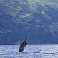 Photos: 1611 マッコウクジラのジャンプ@ポルトガル