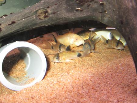 20140723 60cmコリドラス水槽のコリドラス達