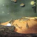 Photos: 20140730 60cmコリドラス水槽のコリドラス達