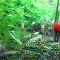 20140731 60cmエビ水槽のブセファランドラの花