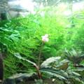 20140806 60cmエビ水槽のブセファランドラの花