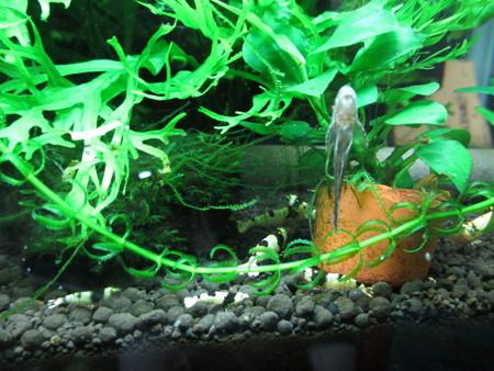 20140806 60cmエビ水槽のオトシンネグロの稚魚