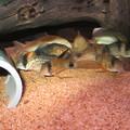 Photos: 20140826 60cmコリドラス水槽のコリドラス達