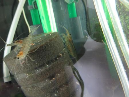 20140827 60cmコリドラス水槽のヤマトヌマエビの抱卵
