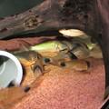 Photos: 20140903 60cmコリドラス水槽のコリドラス達