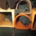 Photos: 20141002 45cmプレコ水槽のプレコ達