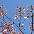 写真: 可愛い桜