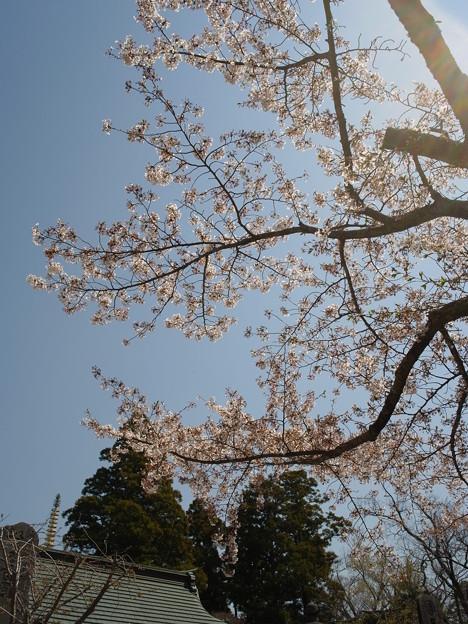 陽のあたる寺社と桜