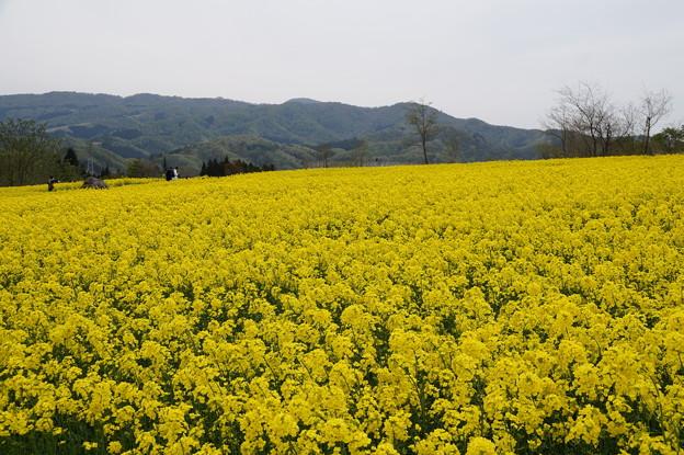 大洞原菜の花畑