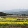 Photos: 大洞原菜の花畑 4