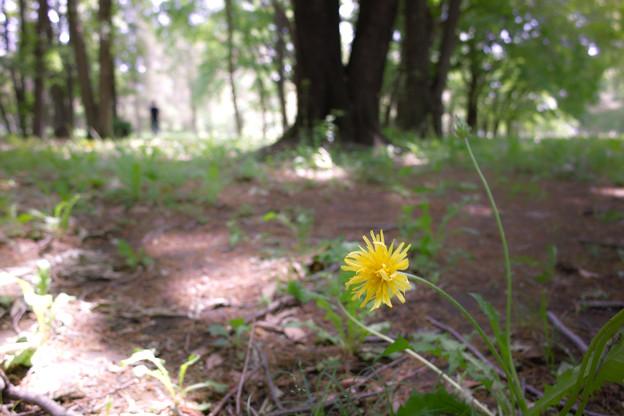 たんぽぽの咲く森