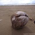 Photos: 2011年2月13日、椰子の実