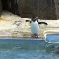 Photos: 京急油壺マリンパークのペンギン