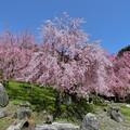 Photos: 見事な枝垂れ桜