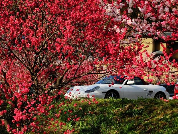 花桃とボクスター