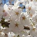 Photos: 多摩川沿いの桜18