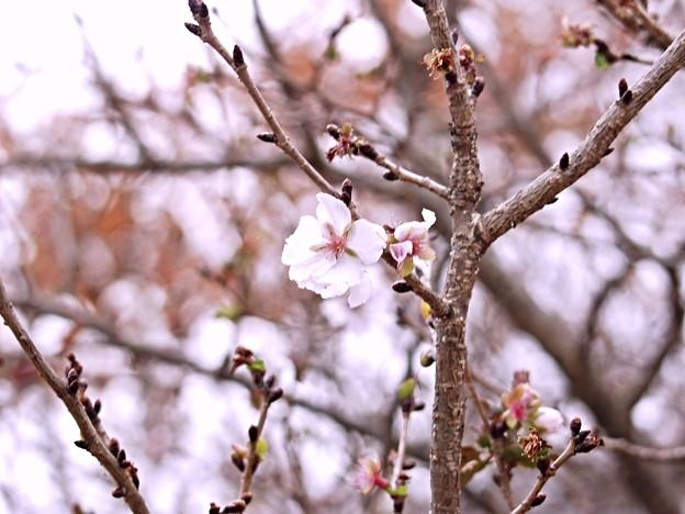 吉野ヶ里季節はずれの一輪2