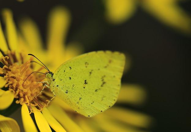 黄蝶の食事