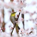 写真: 梅の花灯