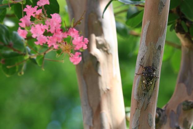 真夏のサルスベリ