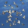 写真: 野バトの飛翔!