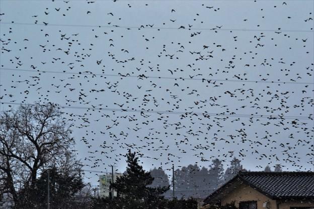 写真: アトリの集団移動 1
