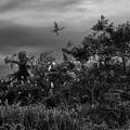 写真: 鷺の棲む木
