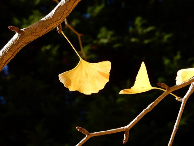 写真: DSCN0101 三河湖銀杏