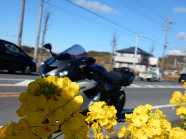 写真: DSCN0301 菜の花越しに