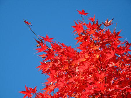 真っ赤なもみじと青い空