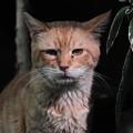 写真: 2011年9月7日の茶トラのボクチン(7歳)