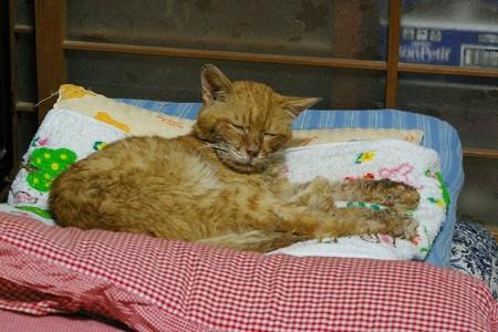 2012年9月18日の体調を崩して3ヶ月半になる茶トラのボクチン(8歳)