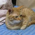 写真: 2008年9月29日の茶トラのボクちん(4歳)