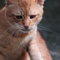 写真: 2009年10月3日の茶トラのボクちん(5歳)