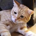 写真: 2010年10月7日の茶トラのボクチン(6歳)