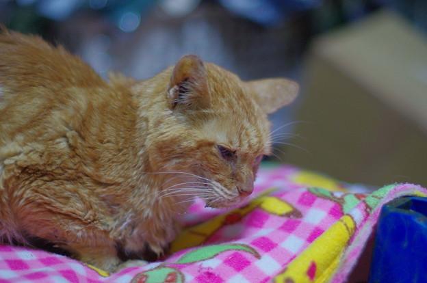 写真: 2011年10月15日の茶トラのボクチン(8歳)